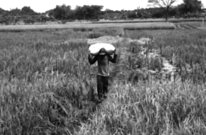 SISA: Petani sedang memanen padinya, meski hanya sisa-sisa hama.