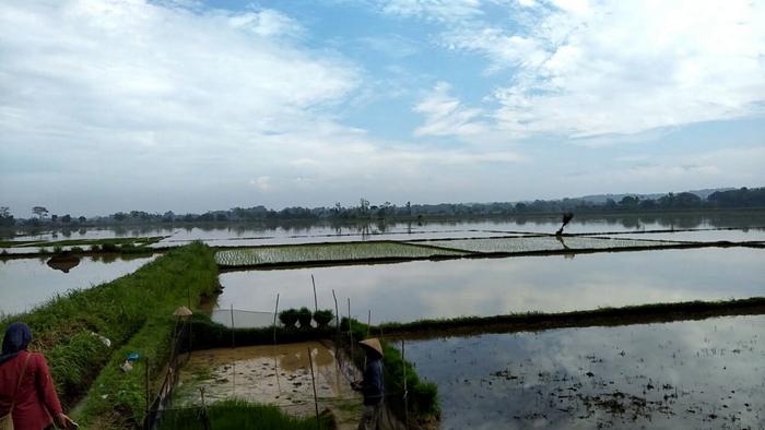 Banjir merendam 25 hektar sawah di wilayah Kecamatan Sutojayan