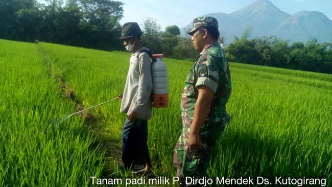 Babinsa Koramil 081512 Ngoro Dampingi Petani Penyemprotan Tanaman Padi