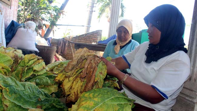 Cuaca Ekstrim, Kualitas Tanaman Tembakau Turun