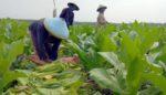 Musim Kemarau Bawa Berkah Bagi Petani Tembakau di Kedungpring