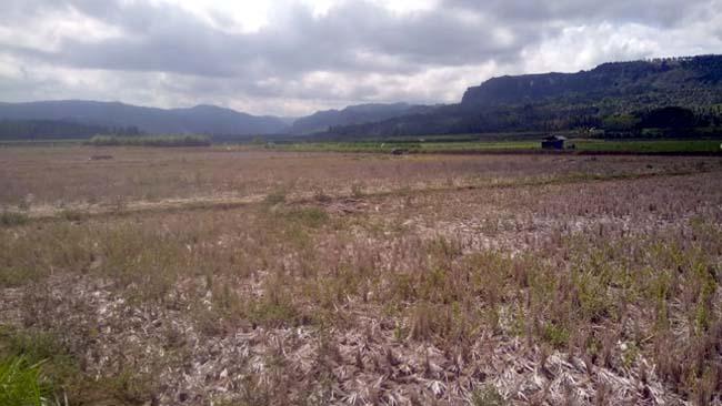 MENGERING :Kondisi Areal Persawahan Desa Sitiarjo Mulai Mengering. (sur)