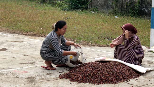 MELIMPAH : Produksi Kopi Desa Ringinkembar. (sur)
